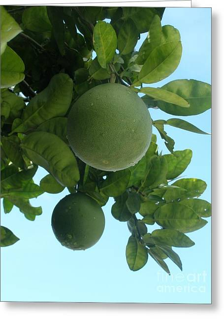 Hong Kong Greeting Cards - Wild Honey Pomelo Fruit Tree Greeting Card by Kathy Daxon
