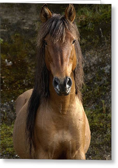 Wild Horses Greeting Cards - Wild Horse Equus Caballus In Open Greeting Card by Pete Oxford