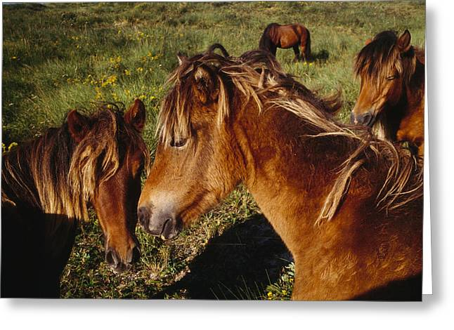 Wild Horses On Sable Island Greeting Card by Justin Guariglia
