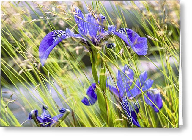 Wild Irises Greeting Card by Marty Saccone
