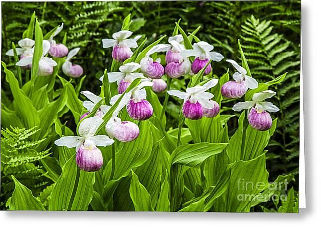 Wild Lady Slipper Flowers Greeting Card by Edward Fielding
