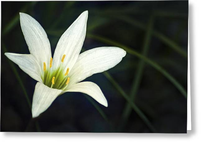 Wild Lily Greeting Card by Carolyn Marshall