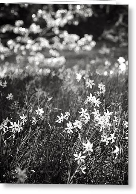Swiss Photographs Greeting Cards - Wild Narcissus at the Forests Edge Greeting Card by Colleen Williams