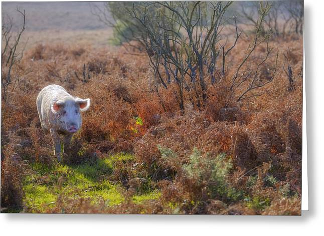 Wild Pig In The New Forest - England Greeting Card by Joana Kruse