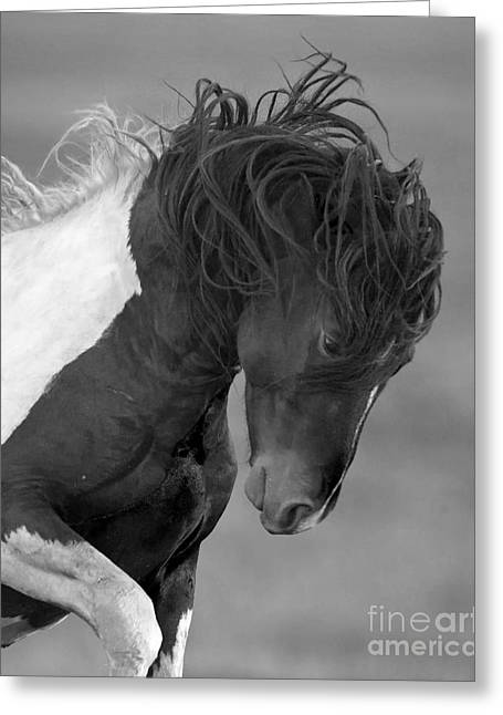Wild Horses Greeting Cards - Wild Pinto Stallion Greeting Card by Carol Walker