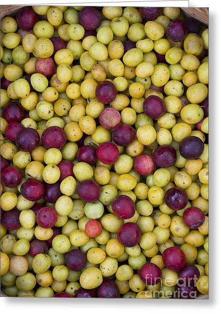 Foraging Greeting Cards - Wild Plum Harvest  Greeting Card by Tim Gainey