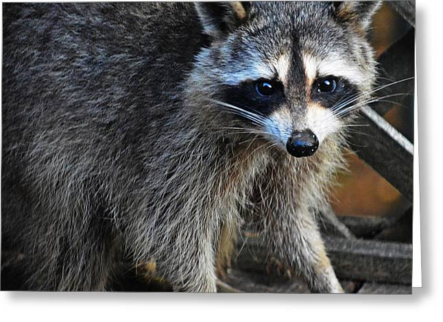Bothers Greeting Cards - Wild Racoon Greeting Card by JW Hanley