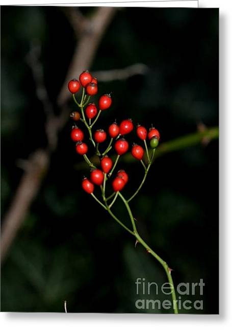Berry Greeting Cards - Wild Red Berries in the Winter Greeting Card by Jari Hawk