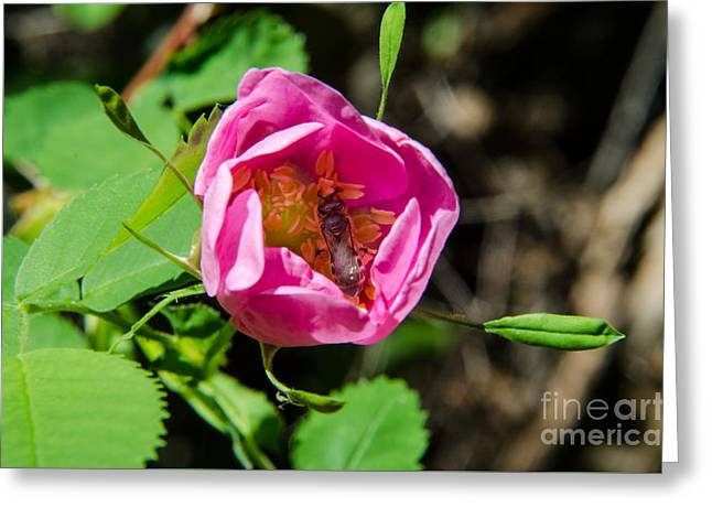Rosa Acicularis Greeting Cards - Wild Rose and Bee Greeting Card by Rex Wholster