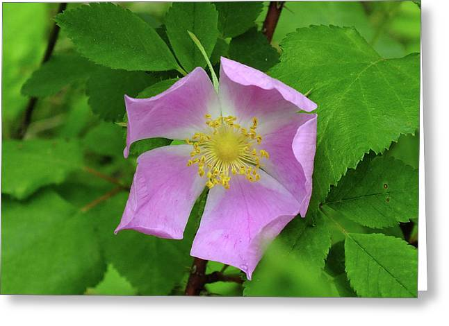 Wild Rose Greeting Card by Bill Morgenstern