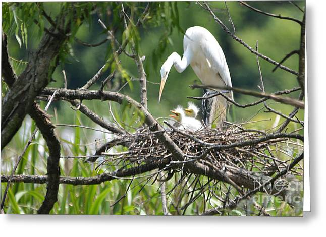 Gray Hair Greeting Cards - Wild Snowy White Egret with her fuzzy headed babies....Photo B Greeting Card by Barbara Dalton