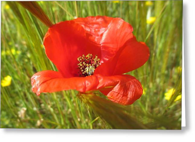 Kelly Greeting Cards - Wild Spanish Poppy Greeting Card by Valerie Anne Kelly