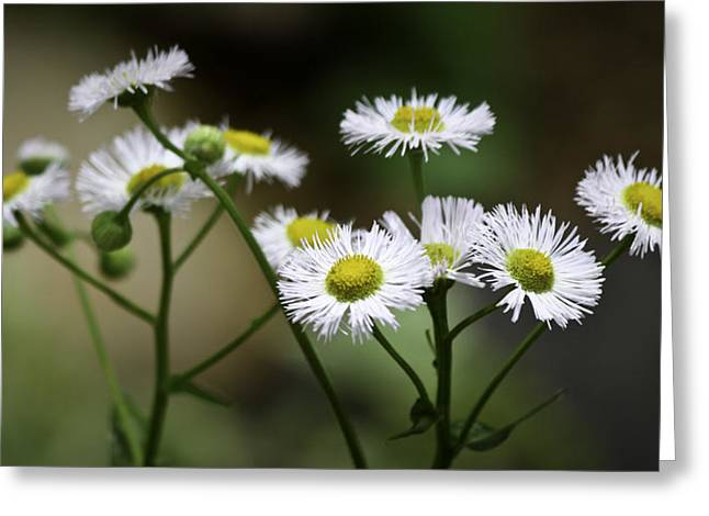 Asters Greeting Cards - Wild Spring Aster Greeting Card by Teresa Mucha