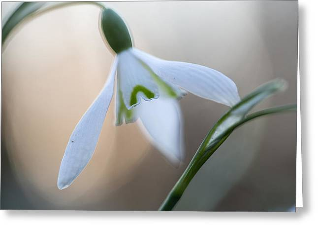 Wild Spring Flowers - Snowdrops Greeting Card by Dirk Ercken