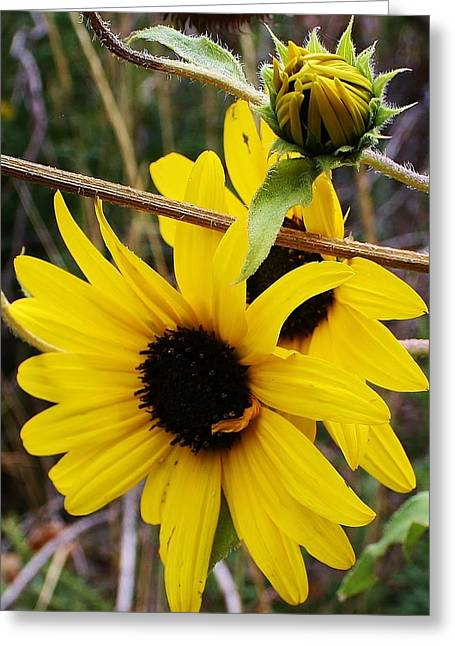 Wild Sunflowers Of The Canyon Greeting Card by Bruce Bley