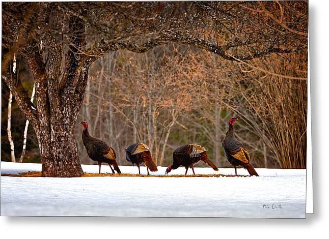 Maine Spring Greeting Cards - Wild Turkey Greeting Card by Bob Orsillo