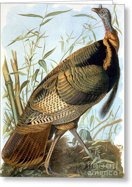 Aodng Greeting Cards - Wild Turkey Greeting Card by Granger