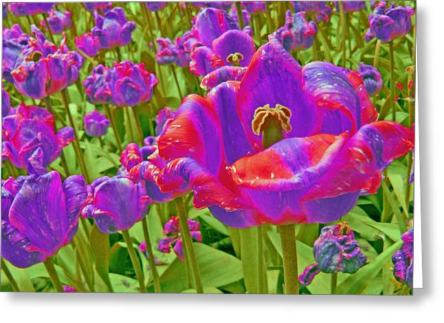 Unique Art Greeting Cards - Wild Version Pink and Purple Tulips Greeting Card by Adri Turner