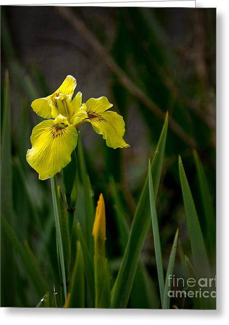 Haybale Greeting Cards - Wild Yellow Iris Greeting Card by Robert Bales