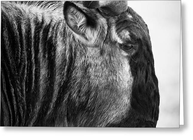 Wildebeest Greeting Card by Adam Romanowicz