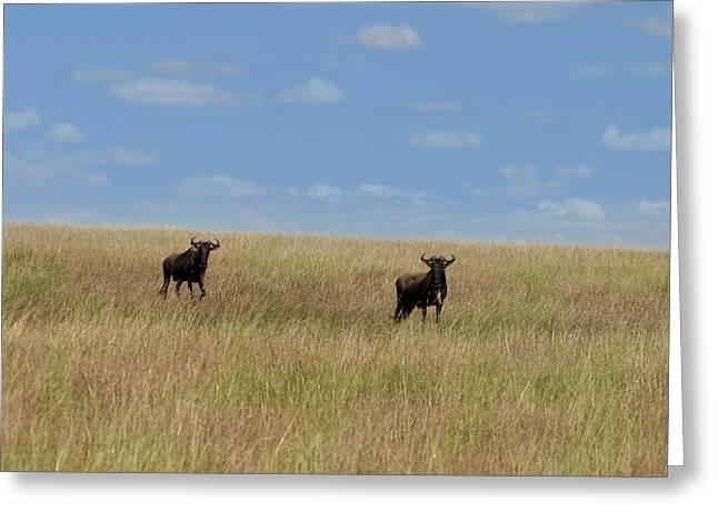 Great Migration Greeting Cards - Wildebeest Migration Masai Mara Kenya Greeting Card by Joseph G Holland