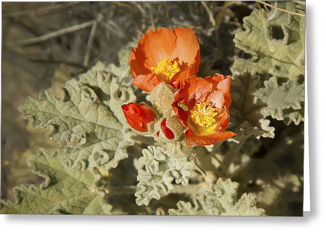 Wildflower In Death Valley By Jean Noren Greeting Card by Jean Noren