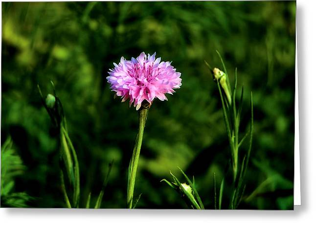 Pink And Green Hues Greeting Cards - Wildflower Greeting Card by Karen M Scovill