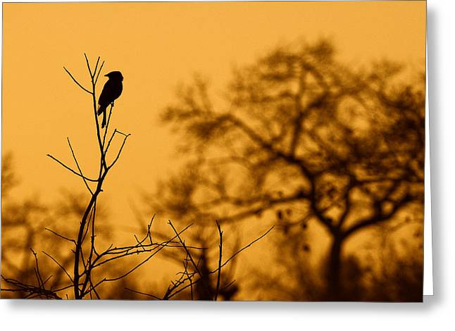 Bird Singing Greeting Cards - Wildlife - Drongo Greeting Card by Andy-Kim Moeller
