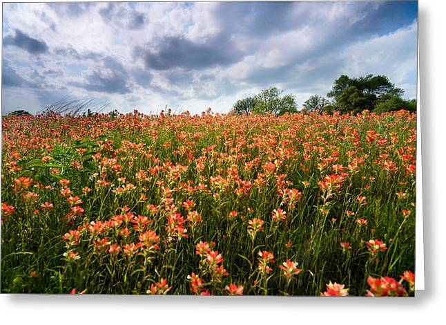 Indian Paintbrush Greeting Cards - Wildly Blooming -Indian Paintbrush - Texas Greeting Card by Ellie Teramoto