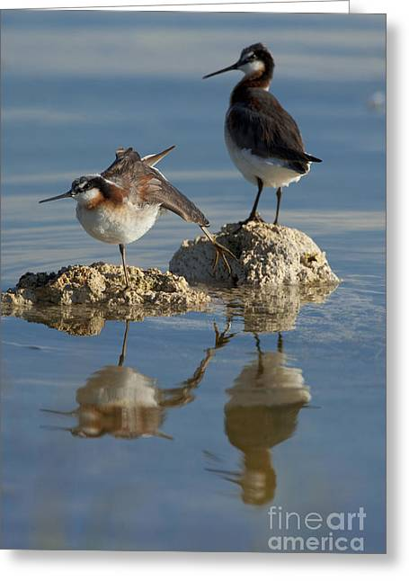 Stretching Wings Greeting Cards - Wildons Phalaropes Greeting Card by Marie Read