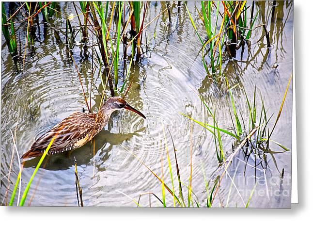 Water Fowl Greeting Cards - Willet Encircled Greeting Card by Joan Kaplan
