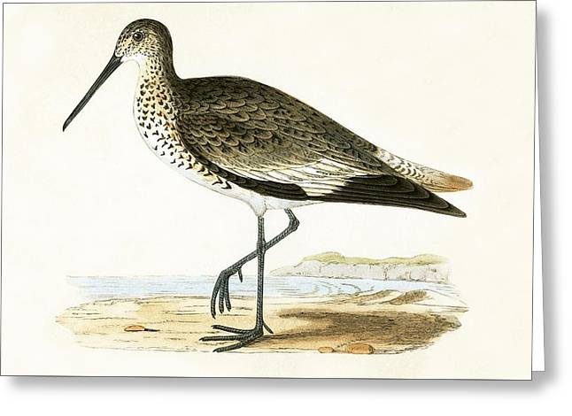 Willet Greeting Card by English School