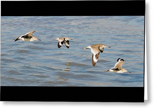 Tern Greeting Cards - Willet Quartet Greeting Card by Dawn Currie