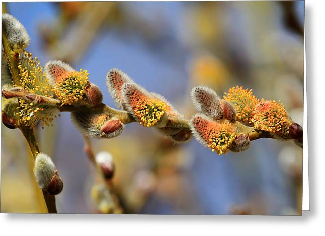 Willow Buds Greeting Card by Donna Kennedy