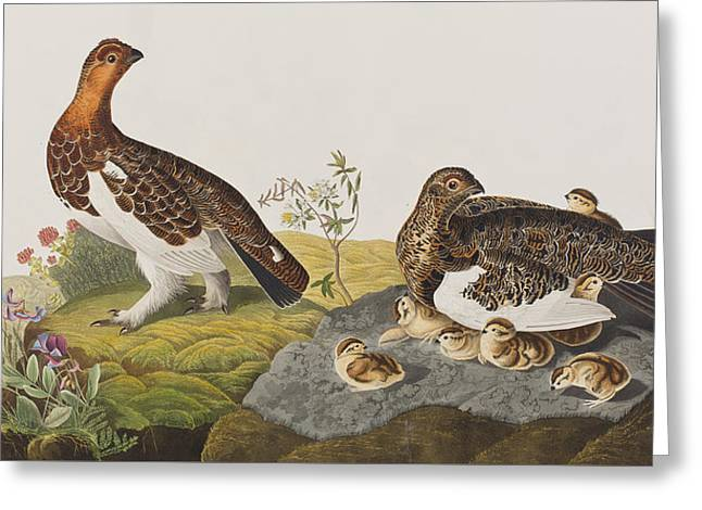 Baby Bird Drawings Greeting Cards - Willow Grouse or Large Ptarmigan Greeting Card by John James Audubon
