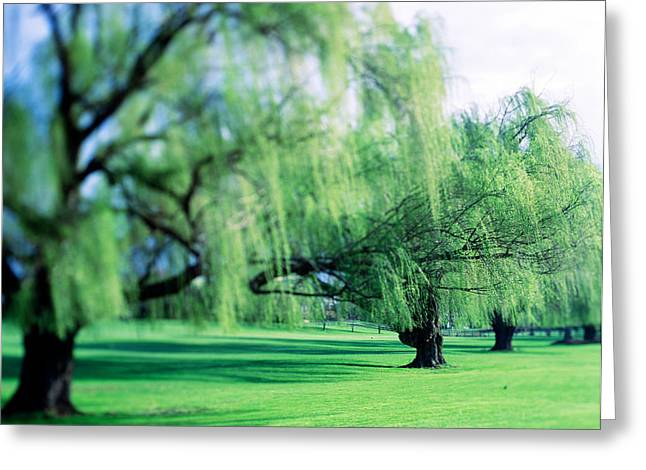 Weeping Greeting Cards - Willow Trees Greeting Card by Panoramic Images