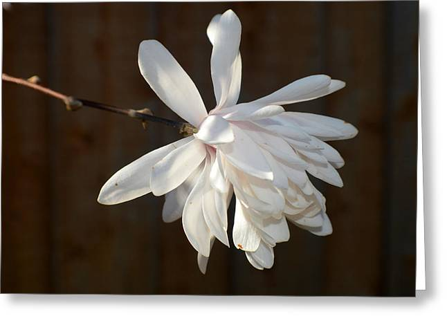 Flower Blossom Greeting Cards - Willowy Magnolia 2015 1 Greeting Card by Tina M Wenger
