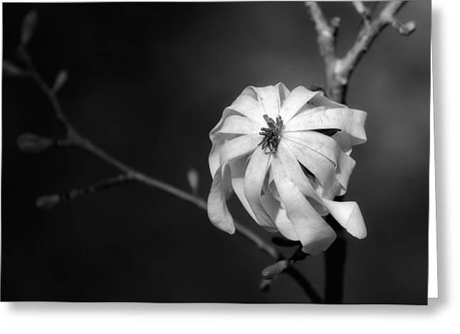 Straps Greeting Cards - Wilting Bloom Greeting Card by James Barber