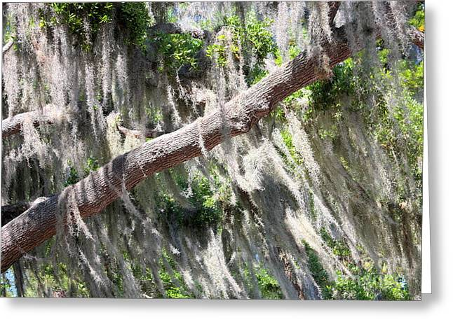 Mossy Trees Greeting Cards - Wind through Spanish Moss Greeting Card by Carol Groenen