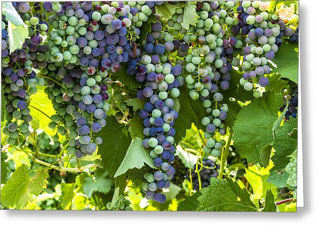 Mountain Valley Greeting Cards - Wine Grape Colors Greeting Card by Teri Virbickis