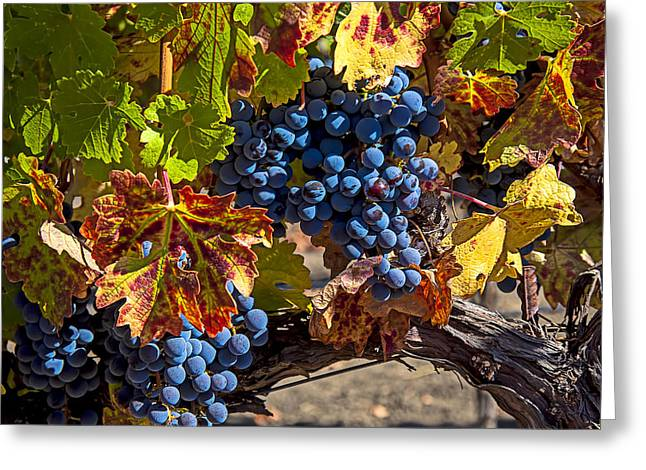 Grapevine Photographs Greeting Cards - Wine grapes Napa Valley Greeting Card by Garry Gay