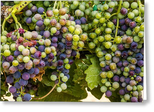 Mountain Valley Greeting Cards - Wine Grapes on the Vine Greeting Card by Teri Virbickis