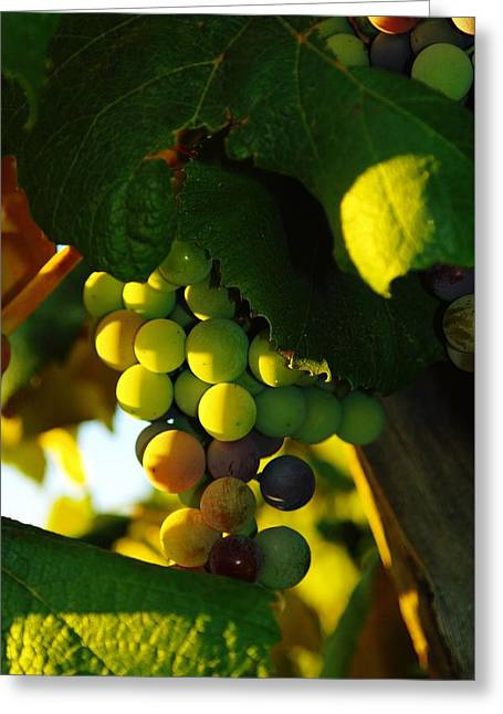 Wine Grapes Greeting Cards - Wine grapes shaded by leaves Greeting Card by Jeff  Swan