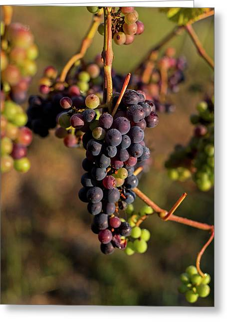 Wine In Process Vineyard Grapevine In Sebastopol Ca Purple And Green Grapes Greeting Card by Toby McGuire
