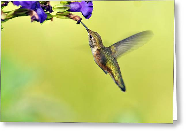 Bird-feeder Greeting Cards - Winged Beauty a Hummingbird Greeting Card by Laura Mountainspring