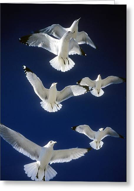 Flying Seagull Greeting Cards - Winging It Greeting Card by Gerard Fritz