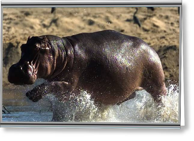 Award Mixed Media Greeting Cards - Winner of the herd harem Hippopotamus Greeting Card by Navin Joshi