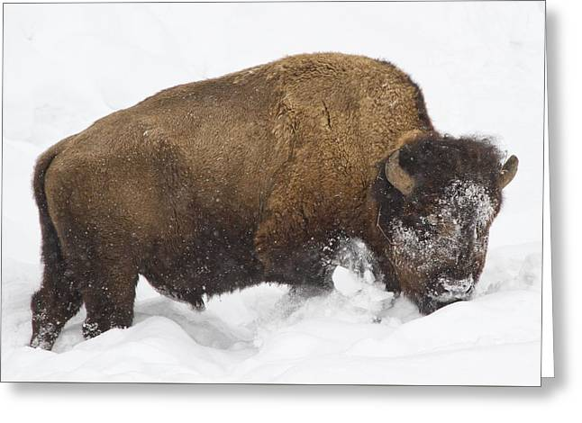 Winter Park Pyrography Greeting Cards - Winter Buffalo Greeting Card by Cat Hesselbacher