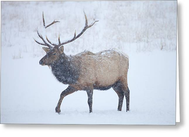 Winter Bull Greeting Card by Mike  Dawson