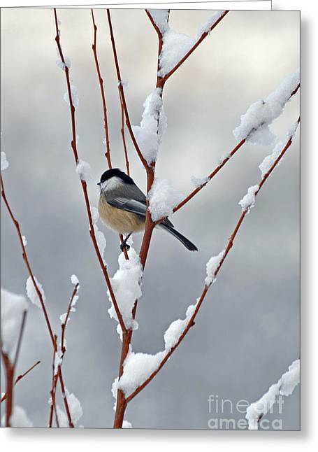 Berry Greeting Cards - Winter Chickadee Greeting Card by Diane E Berry